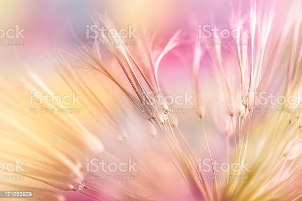 Dandelion seed picture id171253629?b=1&k=6&m=171253629&s=612x612&h=d96 ud5ya466nm3usujubdbjswlhwuqo3bmtl psylo=