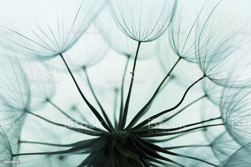 Dandelion seed royalty-free stock photo