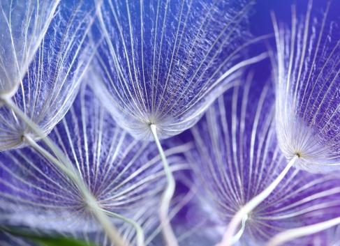 Dandelion Seed.
