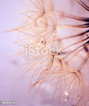 istock Dandelion Seed 491912219