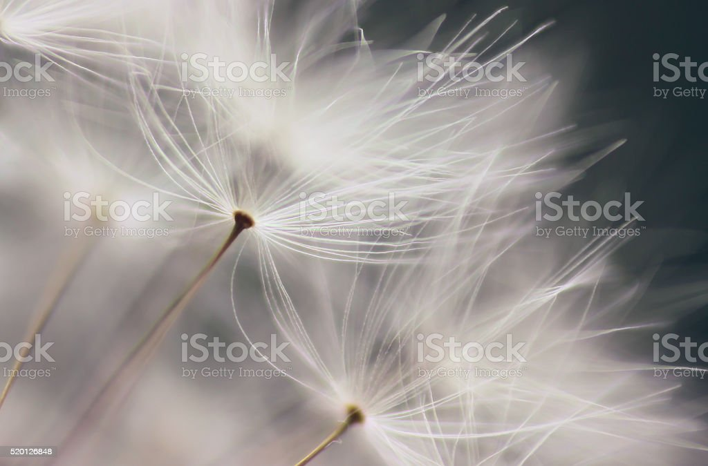 Dandelion seed stock photo