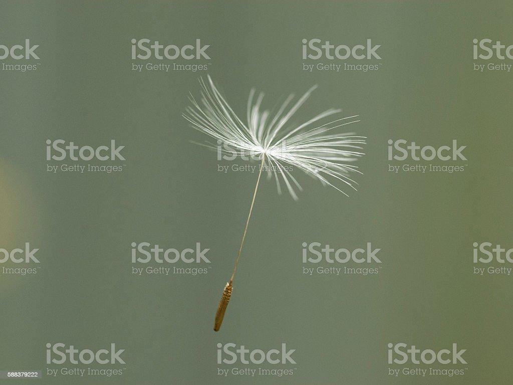 Dandelion seed  Lizenzfreies stock-foto