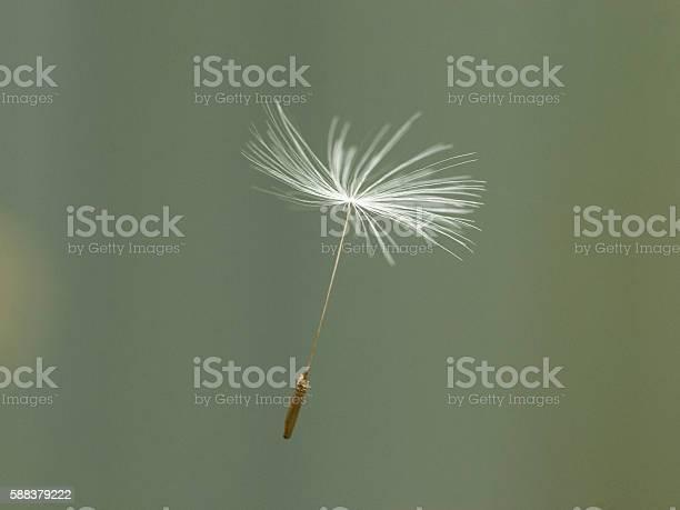 Dandelion Seed Stockfoto und mehr Bilder von Löwenzahn-Samen