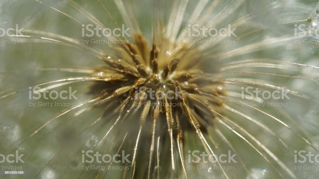 Paardebloem zaad - Royalty-free Achtergrond - Thema Stockfoto