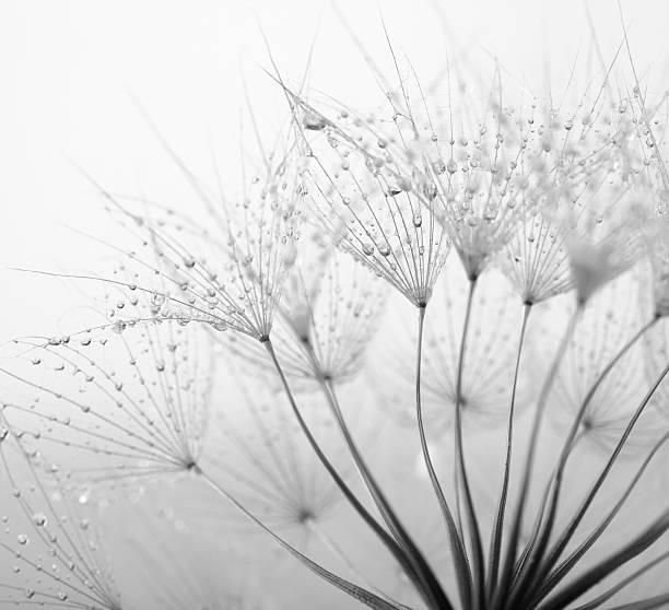 Löwenzahn Samen mit Wassertropfen – Foto