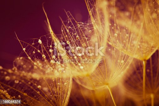 184093103 istock photo Dandelion seed with water drops 166044374