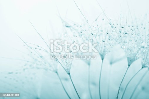 istock Dandelion seed with water drops 184091253
