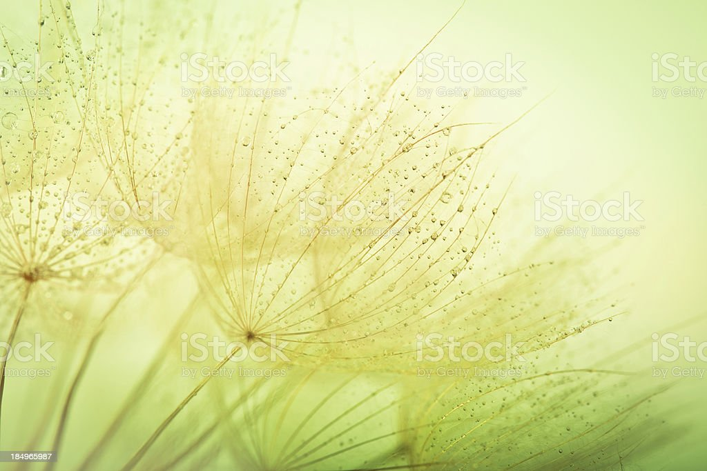 Dandelion seed with water drops royalty-free stock photo