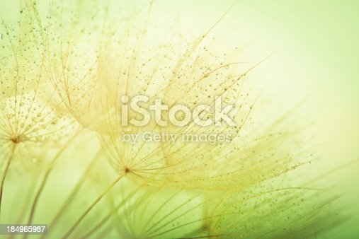 184093103 istock photo Dandelion seed with water drops 184965987