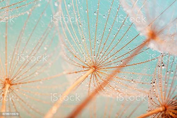 Photo of Dandelion seed with water drops