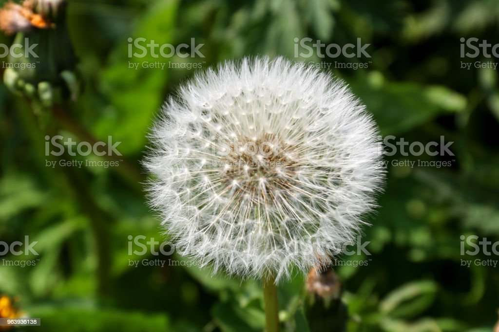 Dandelion Seeded Head Close Up View - Royalty-free Agricultural Field Stock Photo