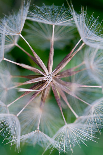 Dandelion seedhead stock photo