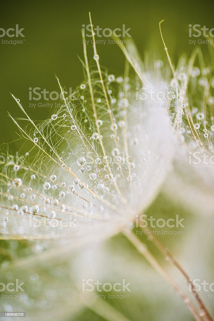 Dandelion seeds and dew royalty-free stock photo