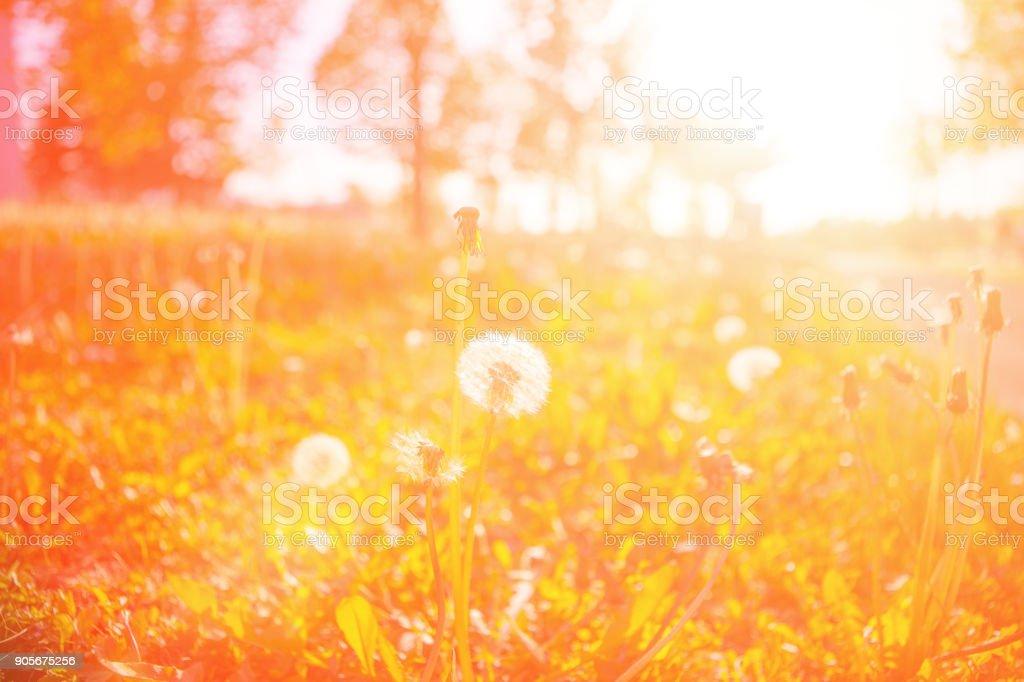 Dandelion seeds at sunset stock photo