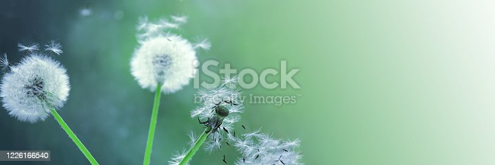 Dandelion seeds blooming in a field in spring, on a background of green and turquoise. Romantic dreamy image. Desktop wallpapers, postcard. Banner