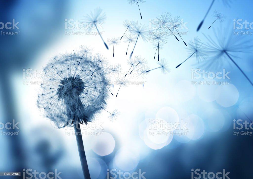 Soufflage des graines de pissenlit dans le vent - Photo