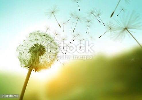 istock Dandelion seeds blowing in the wind 813910710