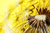 Dandelion seeds blowing in wind summer field on yellow background. Change growth movement and direction concept. Inspirational natural floral spring or summer garden or park. Ecology nature landscape