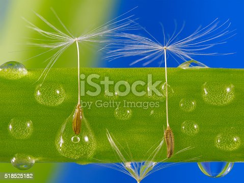 184093103 istock photo Dandelion seeds caught in water droplets on green grass. 518525182