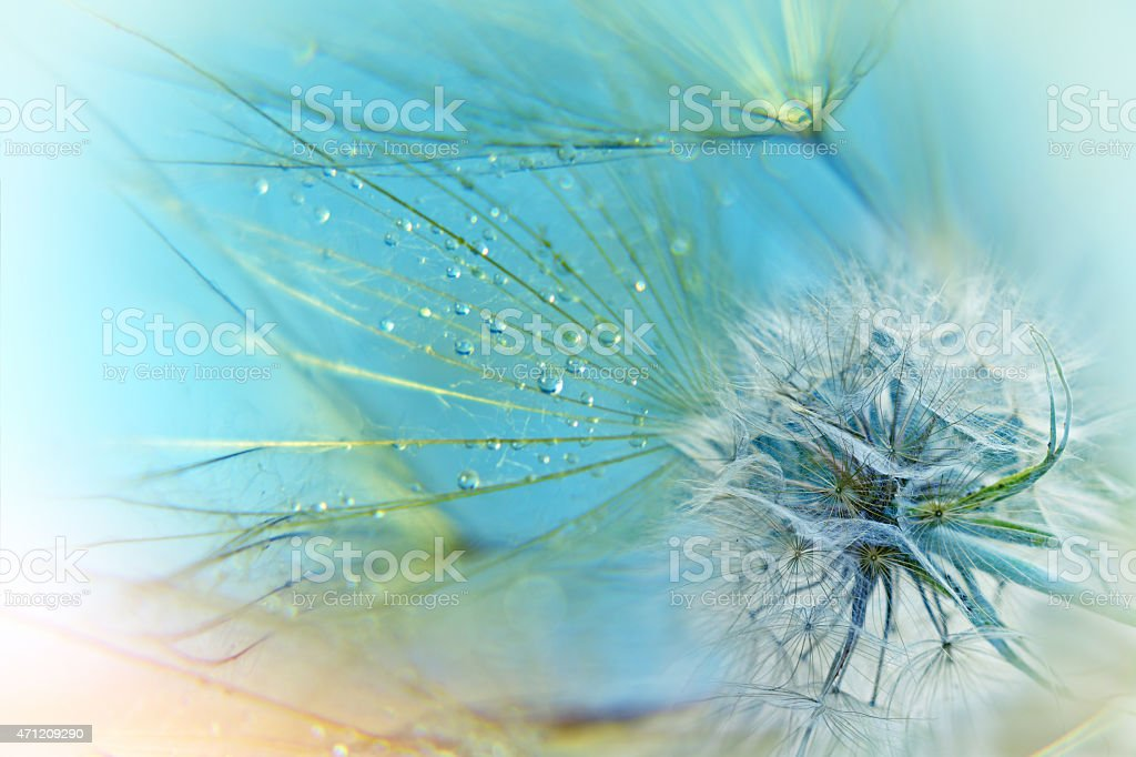 Dandelion seeds - close up stock photo