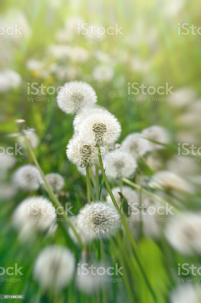 Dandelion seeds - dandelion in meadow stock photo