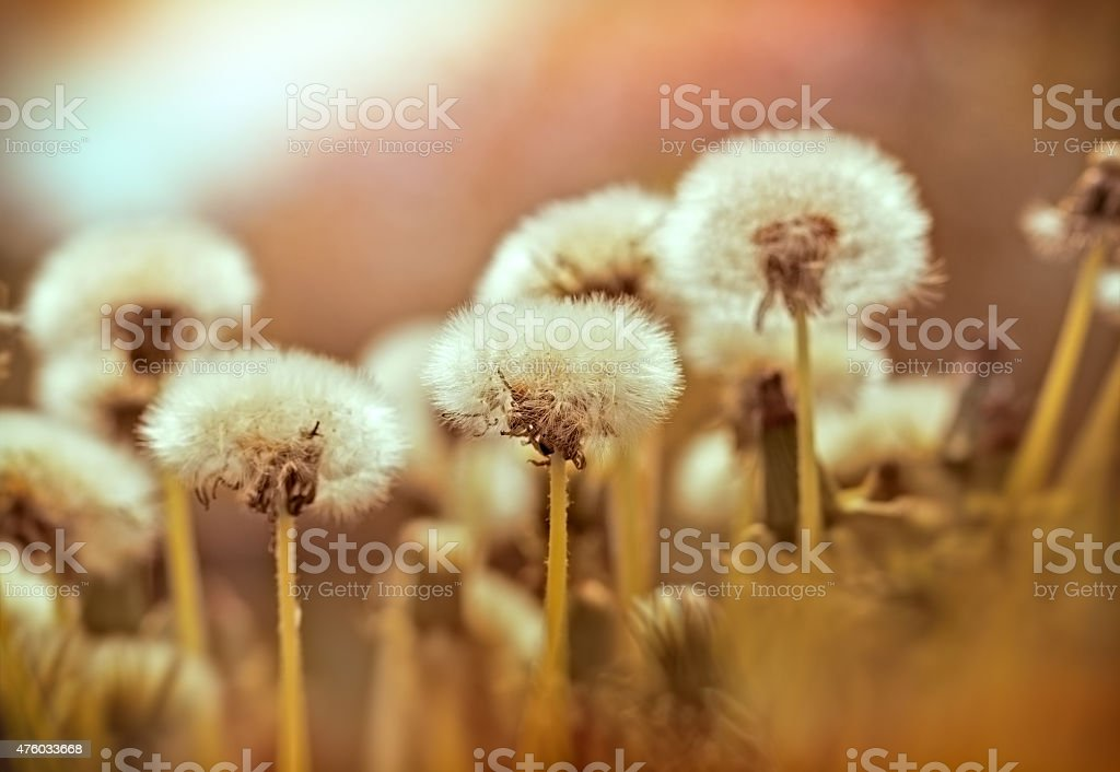 Dandelion seeds - dandelion stock photo