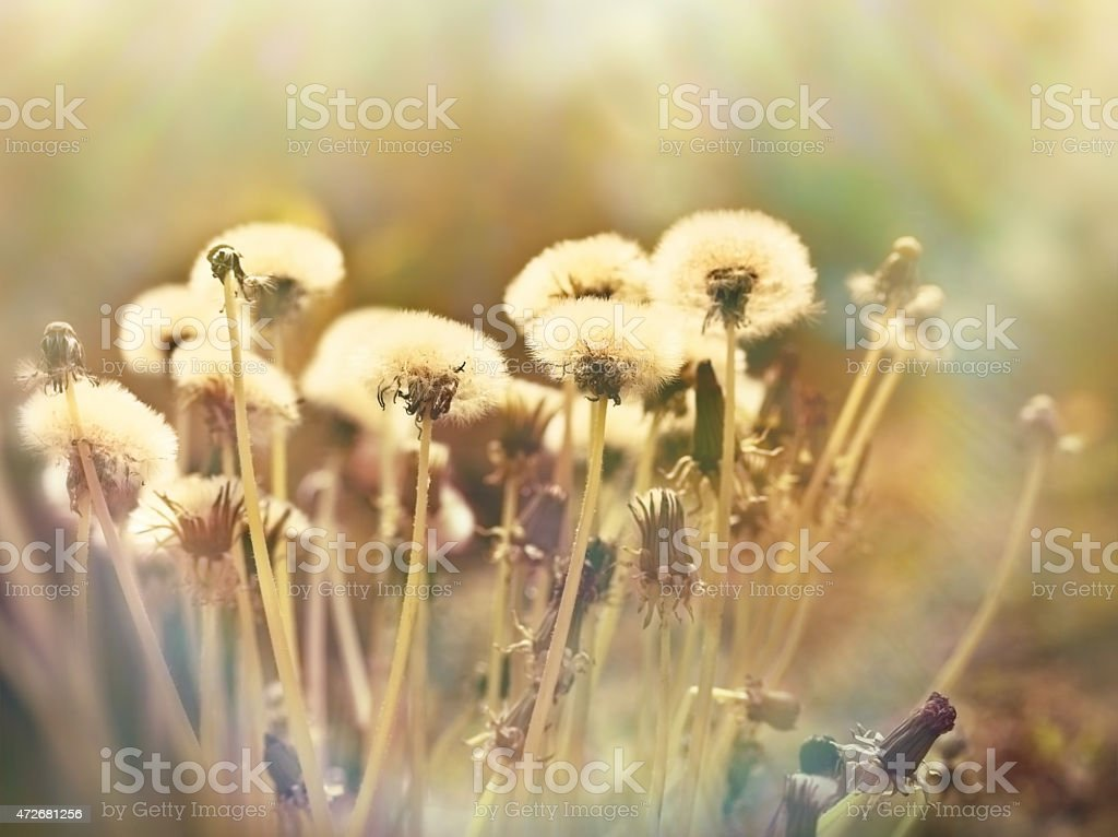 Dandelion seeds - fluffy blowball stock photo