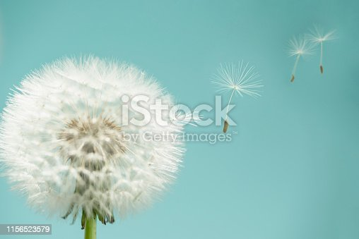 Studio shot showing dandelion seeds flying away from a dandelion seed head. The background is turquoise blue