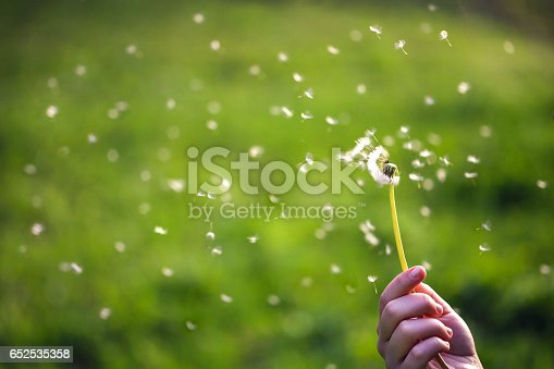 Unrecognizable Caucasian woman holding dandelion while seeds flying.