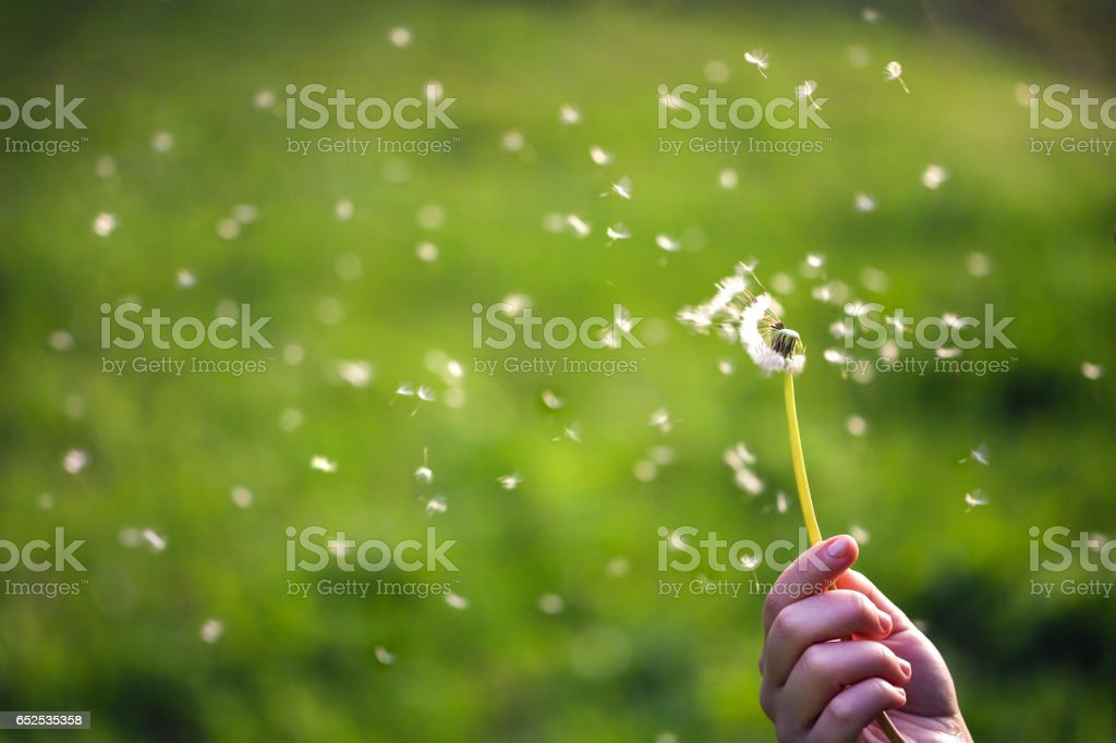 Dandelion seeds flying stock photo