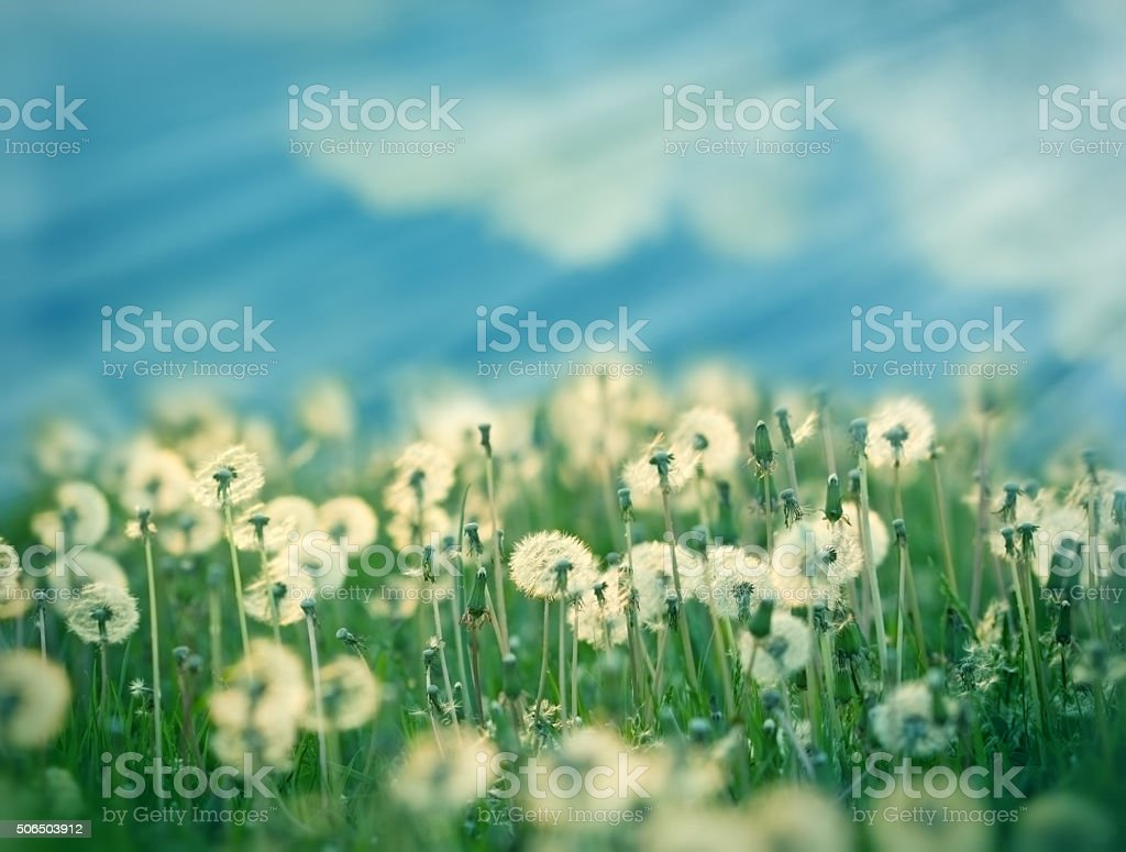 Dandelion seeds in meadow stock photo