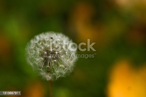 Dandelion seeds in sunlight on spring green background, macro, close up