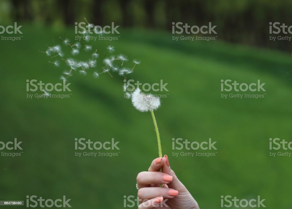 Dandelion seeds in the afternoon blowing away across a fresh green background - Photo