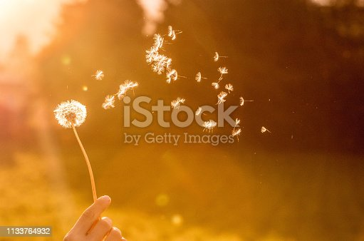 Dandelion seeds flying in the air, orange evening