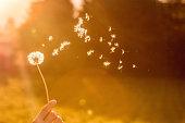 istock Dandelion seeds in the air, orange evening sun 1133764932