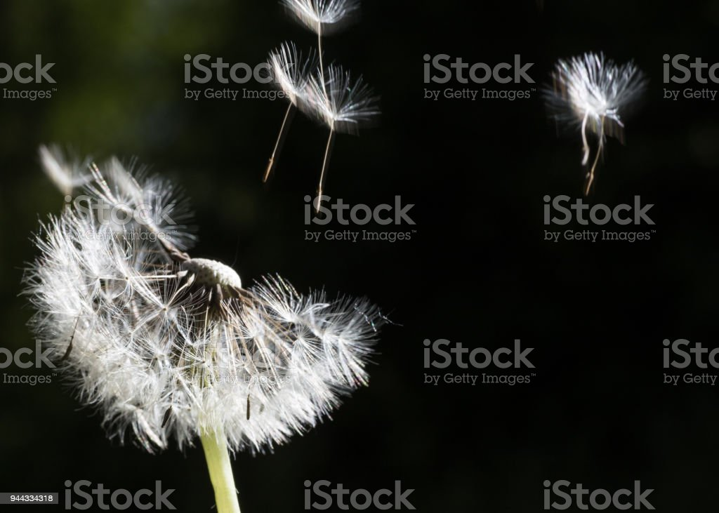 Dandelion seeds in the morning sunlight blowing away on a black background. stock photo