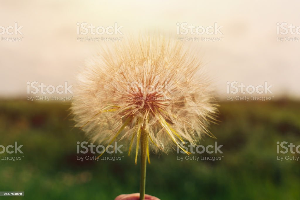Dandelion seeds in the morning sunlight stock photo