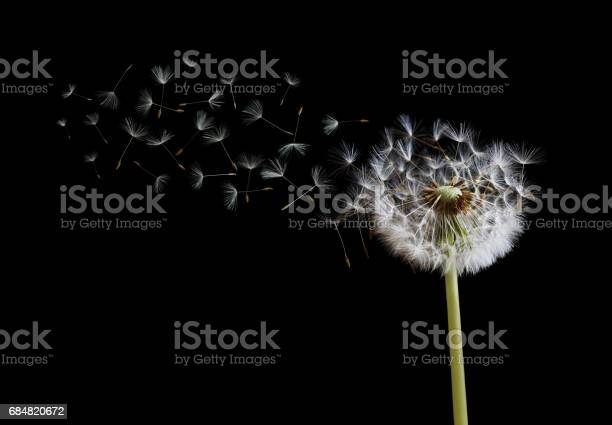 Dandelion seeds in the wind on black background picture id684820672?b=1&k=6&m=684820672&s=612x612&h=ybhaxf f854p bcpxrtzzjv3lwqoiei9zfhotbbkar4=