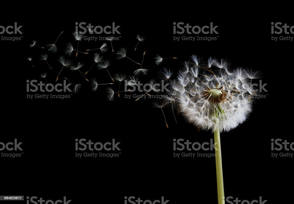 Dandelion seeds in the wind on black background stock photo