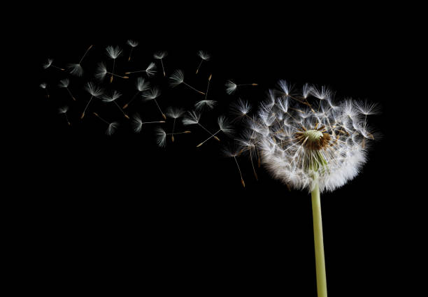 dandelion seeds in the wind on black background - blowing stock photos and pictures