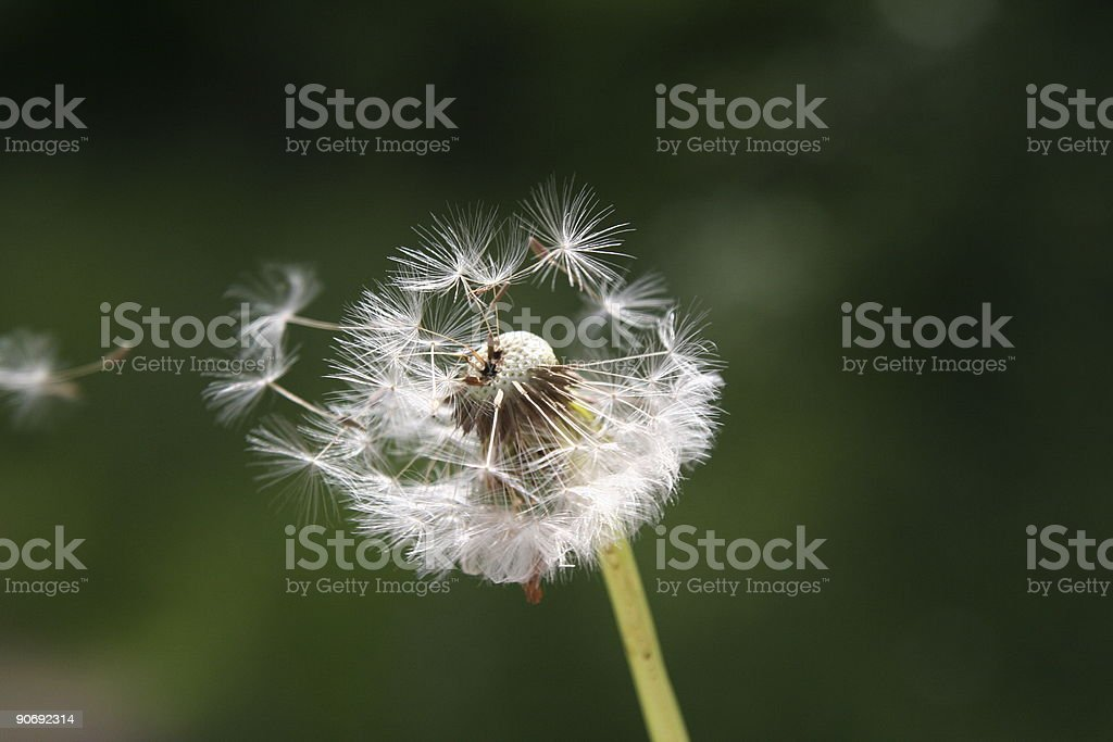 Dandelion Seeds in the Wind royalty-free stock photo