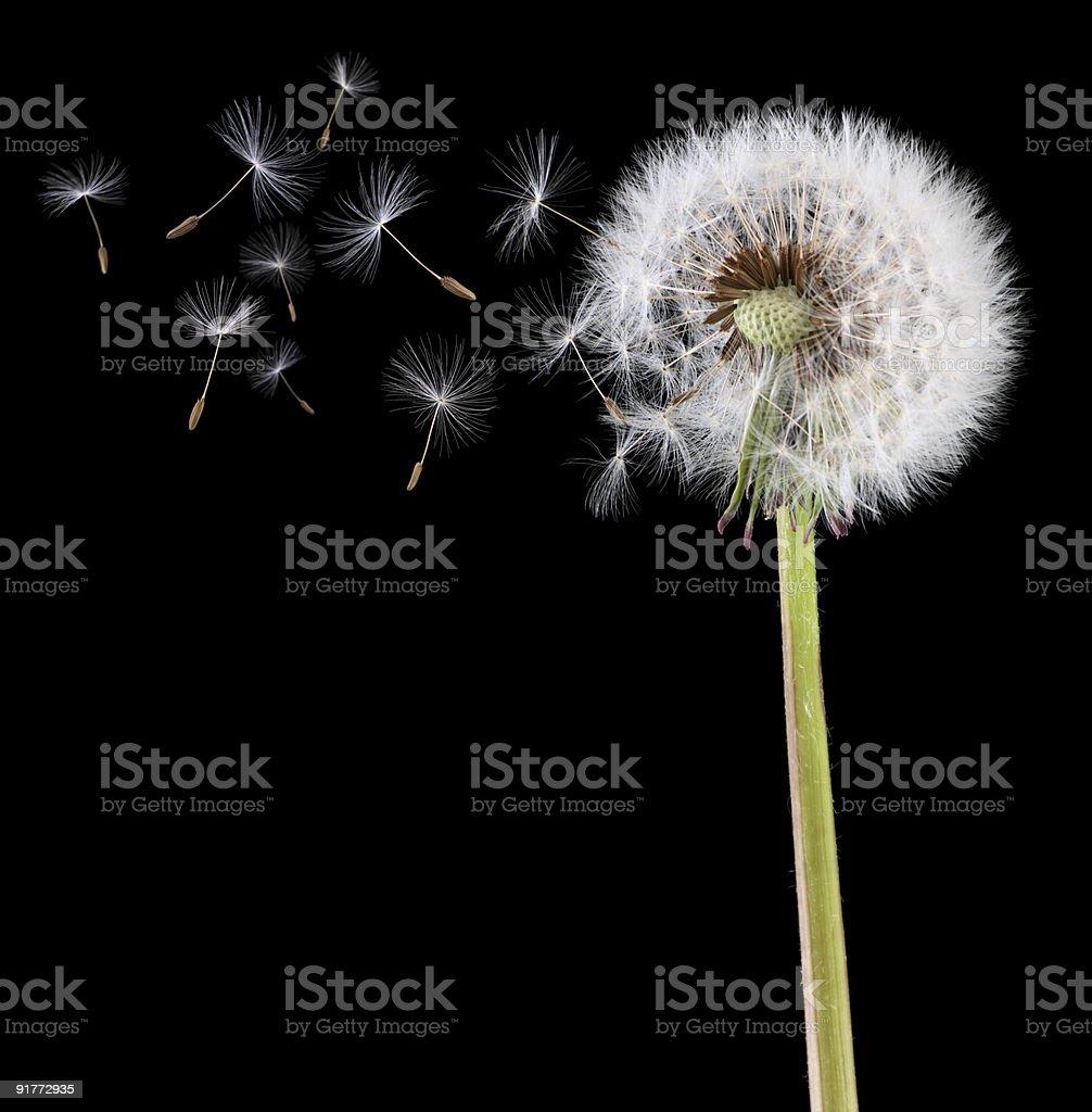 Graines de pissenlit dans le vent - Photo
