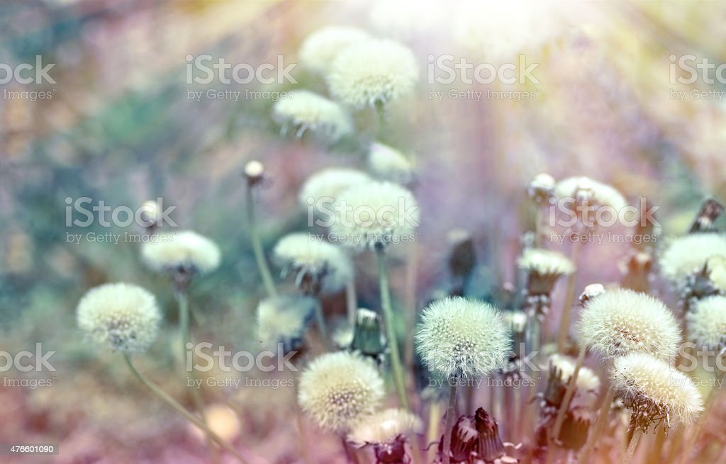 Dandelion seeds lit by sunb rays stock photo