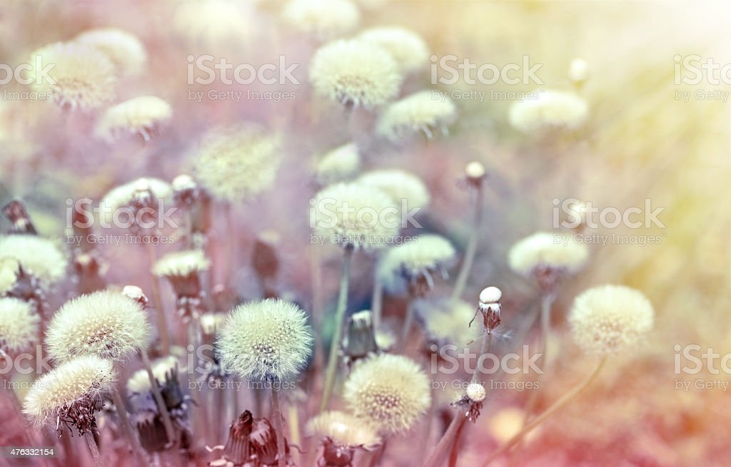 Dandelion seeds lit by sunbeams stock photo