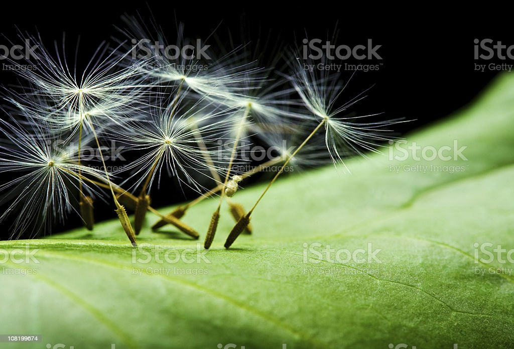Dandelion Seeds on Leaf royalty-free stock photo