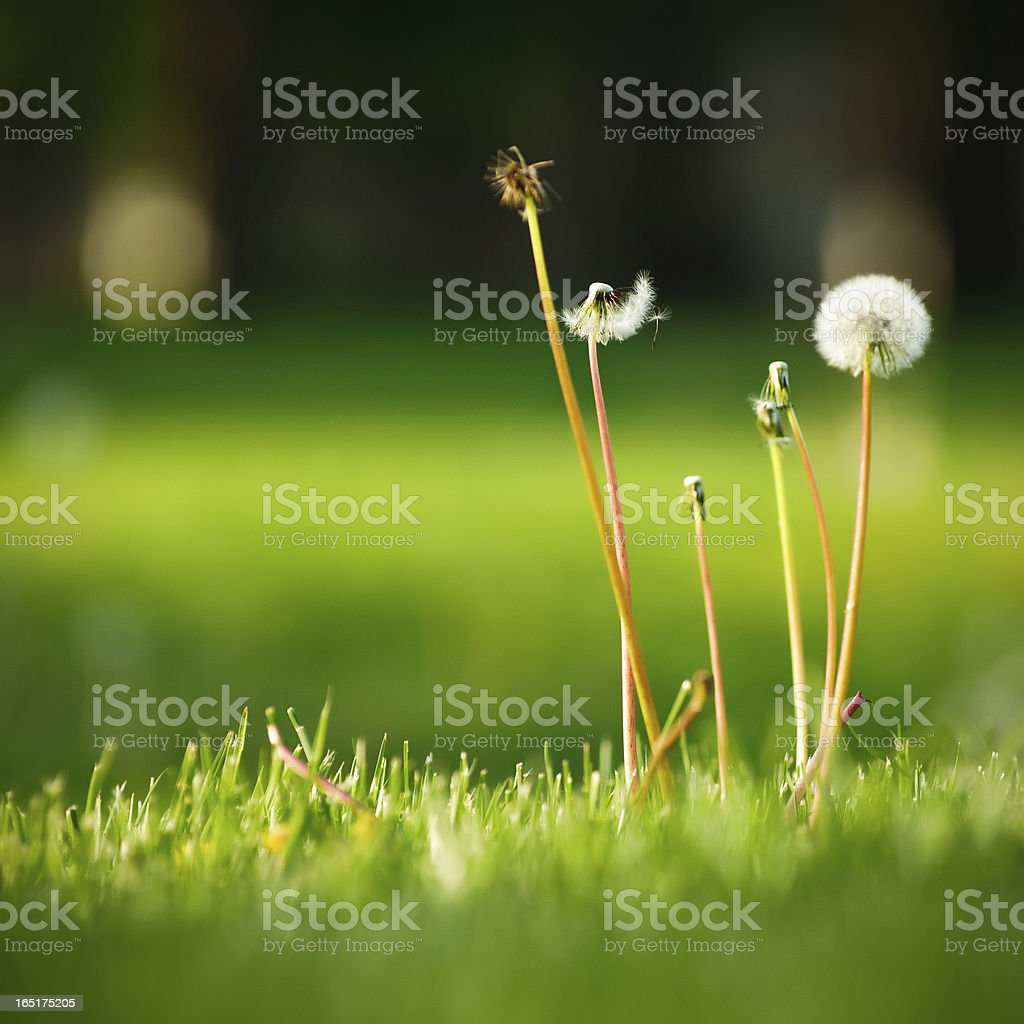 Dandelion Seeds On Lush Spring Lawn stock photo