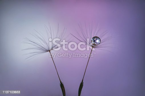istock Dandelion seeds on pastel pink lilac background with water drop close up. 1137103653