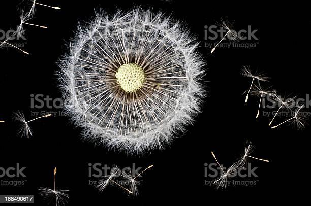 Dandelion seeds picture id168490617?b=1&k=6&m=168490617&s=612x612&h=pfnmdjtgynt8k92zav1u8fzlw2riztflpjijobs 8lc=