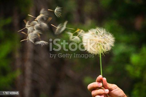 Fluffy dandelion seeds dispersing in the summer breeze