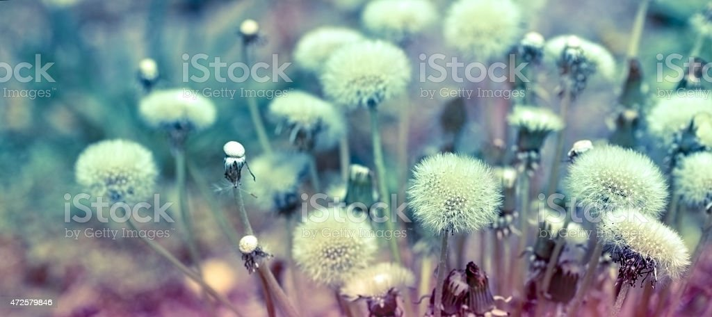 Dandelion seeds (fluffy blowball) stock photo